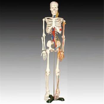 Besten Preis Dissektion Ausbildung Menschlichen Skeletts Herzen ...