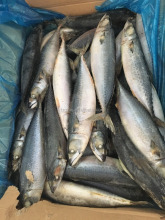 Products Made In The East China Sea Mackerel Seafrozen Food 15kg 400-600g/pc