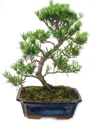 15cm 20cm 30cm Living Bonsai Podocarpus Acer Ginkgo Ilex metasequola pseudolarix amabilis rhododendron simsii