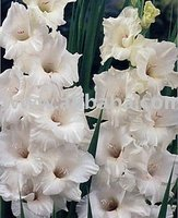 Gladiolus Bulbs: White Prosperity