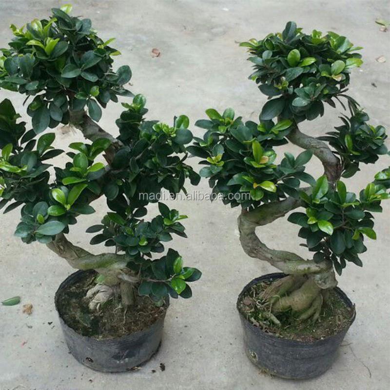 Indoor Decorative Live Ficus Big Tree S Shape Ficus Garden Flowers ...