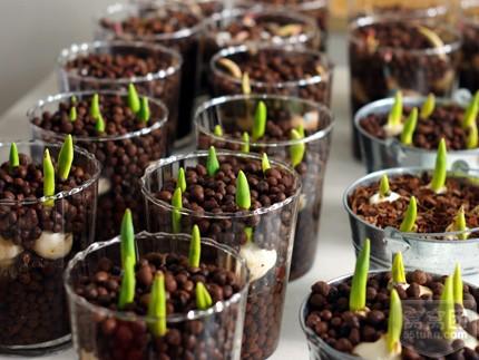 2020 Champagne Tulip Bulbs Bonsai Flowers Not Tulip Seeds Dutch
