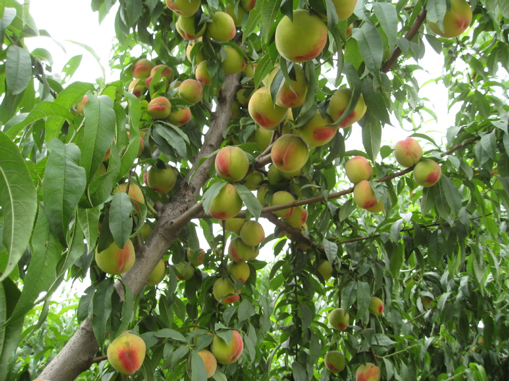 how to grow peaches from seed nz