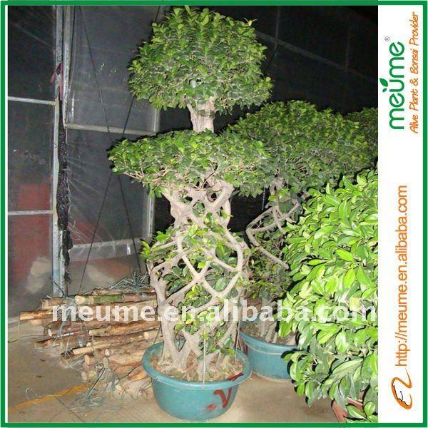 Outdoor gran bonsai rbol rboles de ficus benjamina - Ficus benjamina precio ...