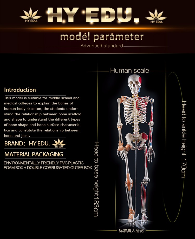 Medical Model 180cm High Skeleton Model Of Human With Colored Muscle