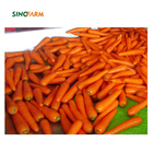 Chinese fresh carrot wholesale from Shandong carrot factory