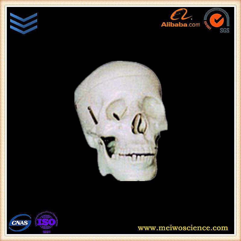 Human Skull Anatomy Human Skull Anatomy Suppliers And Manufacturers