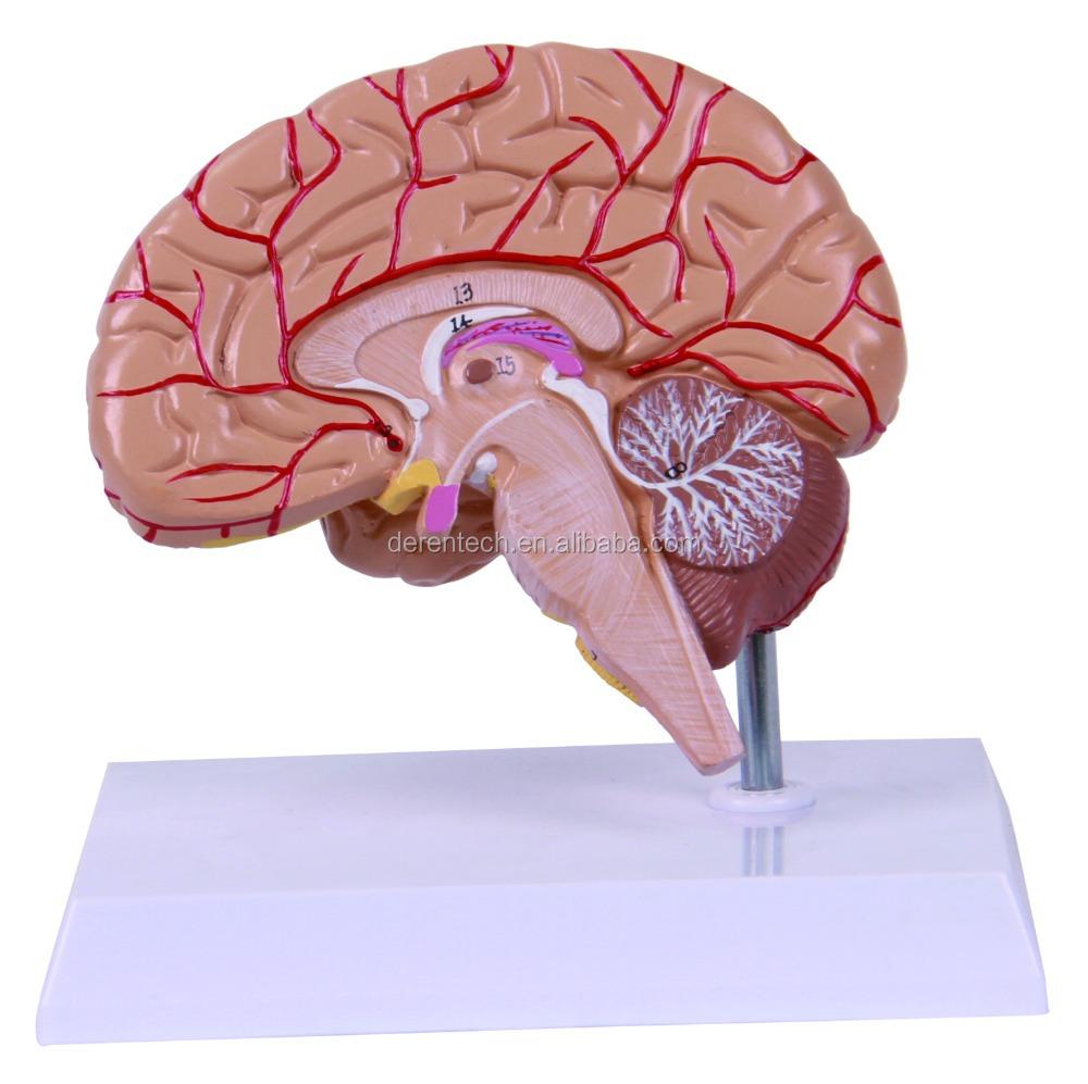 Human Half Brain Model - Buy Brain Model,Half Brain Model,Human Half ...