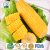 Non-GMO Sweet Corn Grain Snacks