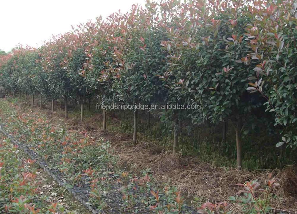 Hojas rojas photiniaxfraseri de jardiner a al aire libre for Jardineria decorativa