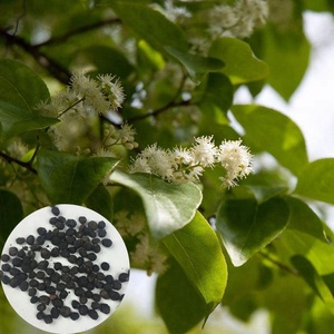 Good Soil And Water Conservation Tree Species Natural Santalum Album Seeds