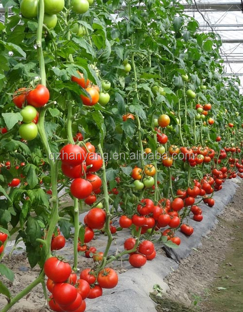 substrate nft hydroponic systems for tomato and other vegetables