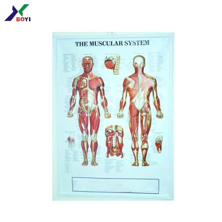 Medical 3d Embossed Poster For Human Anatomy Chart Buy Human