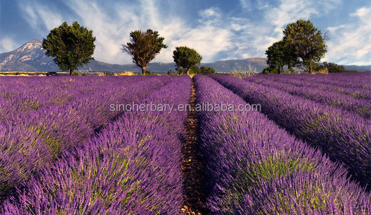 2019 Factory supply natural body oil pure lavender essential oil