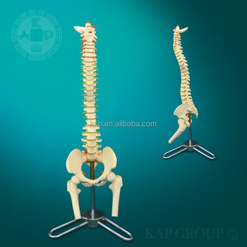 Medical Plastic Lifetime Flexible Spine Model - Spine Anatomical Model -  Human Body Parts Vertebral Column - Buy Medical Plastic Lifetime Flexible