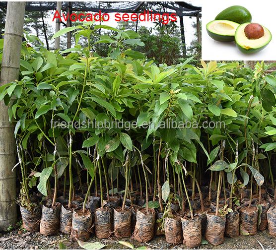 avocado fruit bomen fruit enten zaailingen en onderstammen product id 60577143748. Black Bedroom Furniture Sets. Home Design Ideas