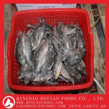 Pesca tilapia with top quality