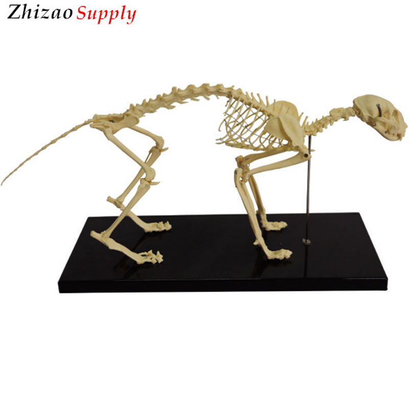 Animal Skeletal Anatomy Teaching Cat Skeleton Animal Anatomical