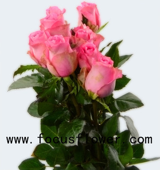 world class rose flower scenery ecuadorian roses wake up with