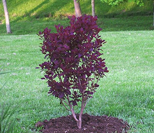 Cheap Cotinus Coggygria Smoke Tree, find Cotinus Coggygria ...