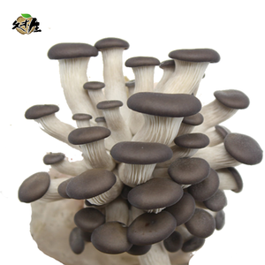 Best seller cultivating fresh oyster mushroom spawn grow kit