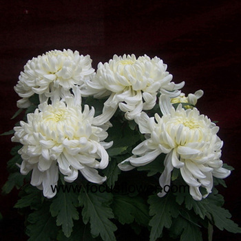 Hote sale chrysanthemum flower foliage for flower arrangements hote sale chrysanthemum flower foliage for flower arrangements single white chrysanthemum from yunnan mightylinksfo Choice Image