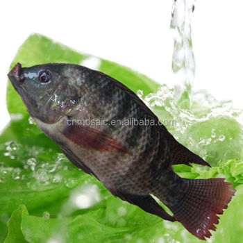 Buy Live Tilapia Fish From Hhf