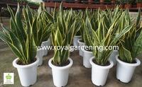 Sansevieria trifasciata Ornamental Plants