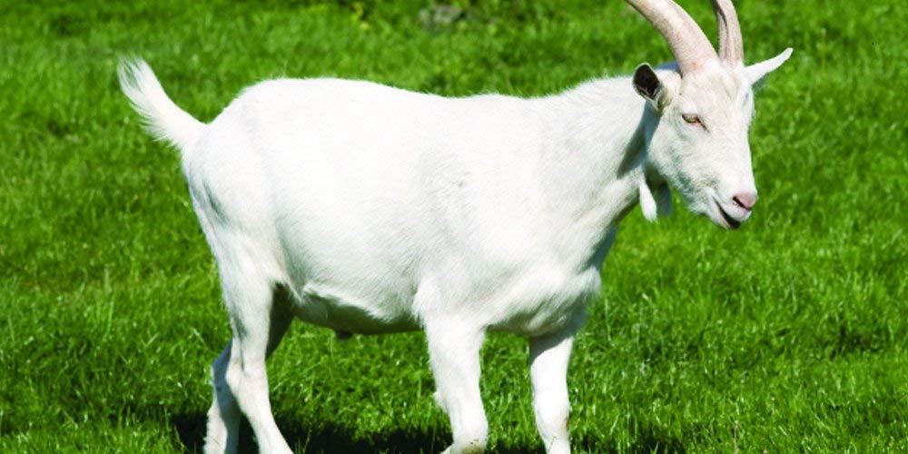 картинки козы в полный рост можете