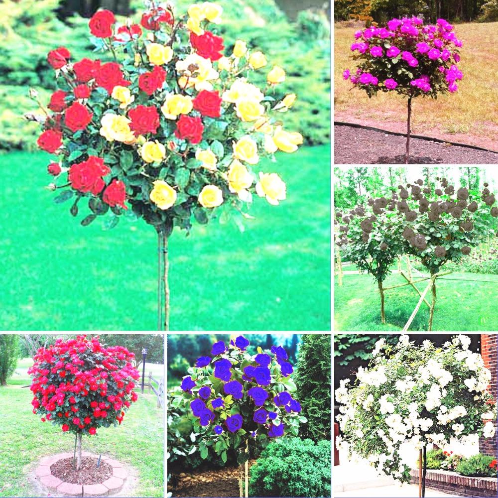 Popular Tree Roses-Buy Cheap Tree Roses lots from China
