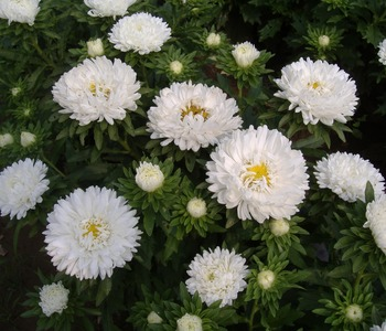 China Aster Plant Seeds White Aster Seeds Annual Asters Seeds For