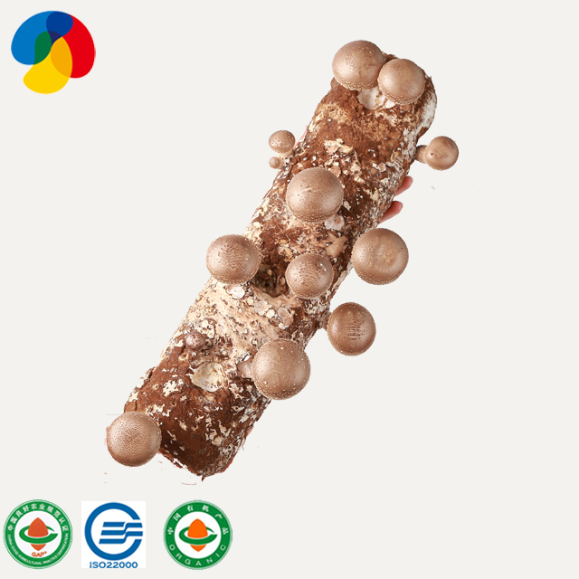 China new farming easily shiitake mushroom culture logs