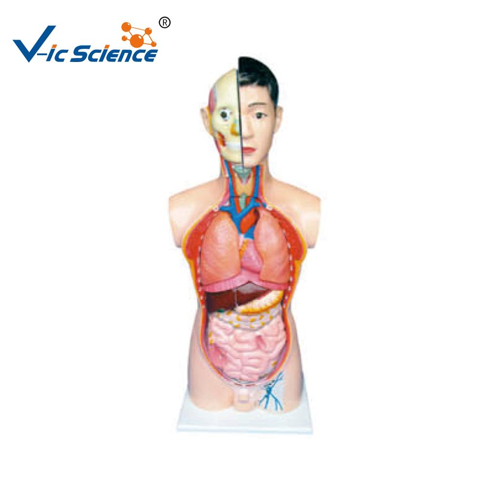Bisexual organs in human