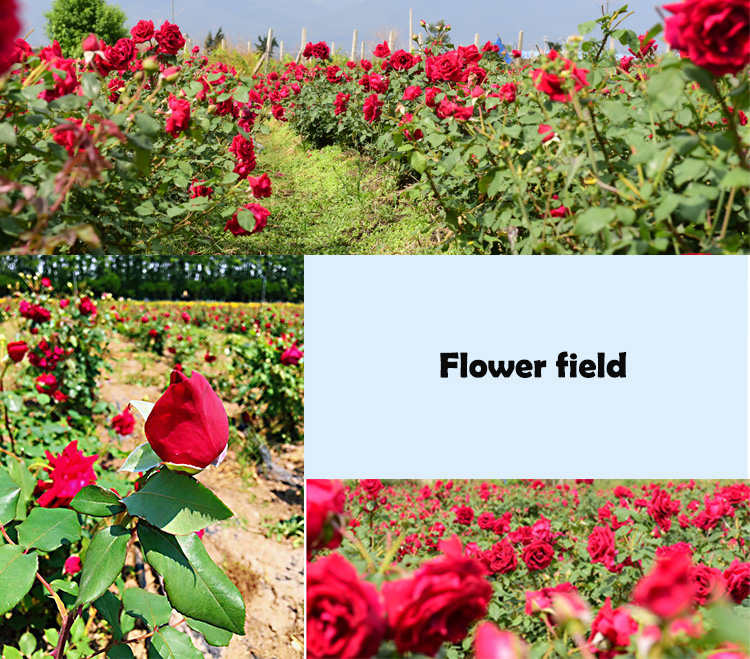 Nature blooming dried flower tea flower buds tea Dry rose tea - 4uTea   4uTea.com