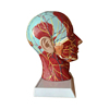 Factory Directly Supply Human Head Model Anatomy China Manufacturer