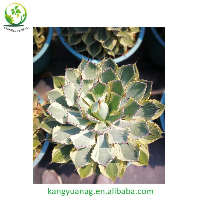 Agave Potatorum Kishoukan Variegata Plants Nursery Buy Agave