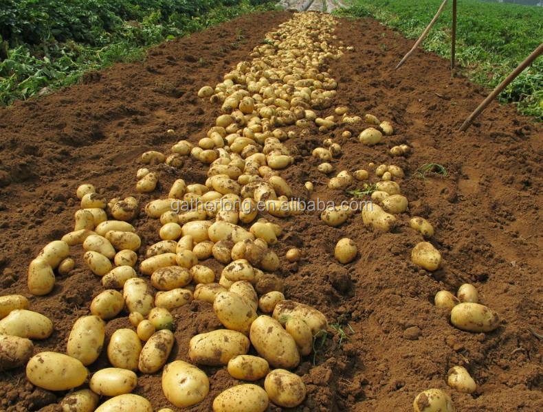 Wholesale Fresh Vegetables Potato