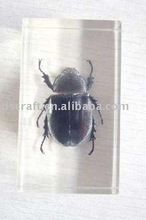 Bettle Insect Amber for Sale
