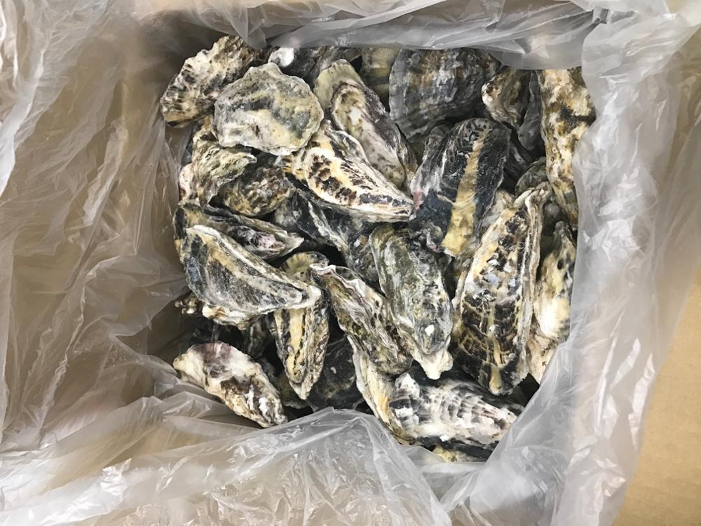 Japan Murotsu Oyster Frozen Seafood Importers,Bulk Frozen Oyster With  Shells - Buy Seafood,Frozen Seafood,Frozen Seafood Importers Product on