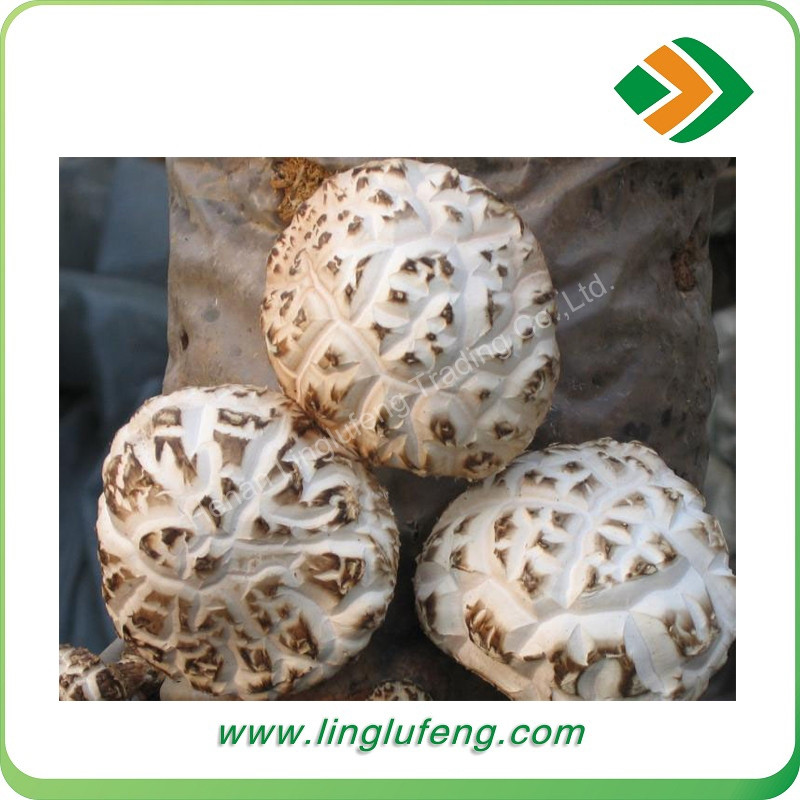 2016 China high quality high yield flat shiitake mushroom spawn,mushroom growing bag