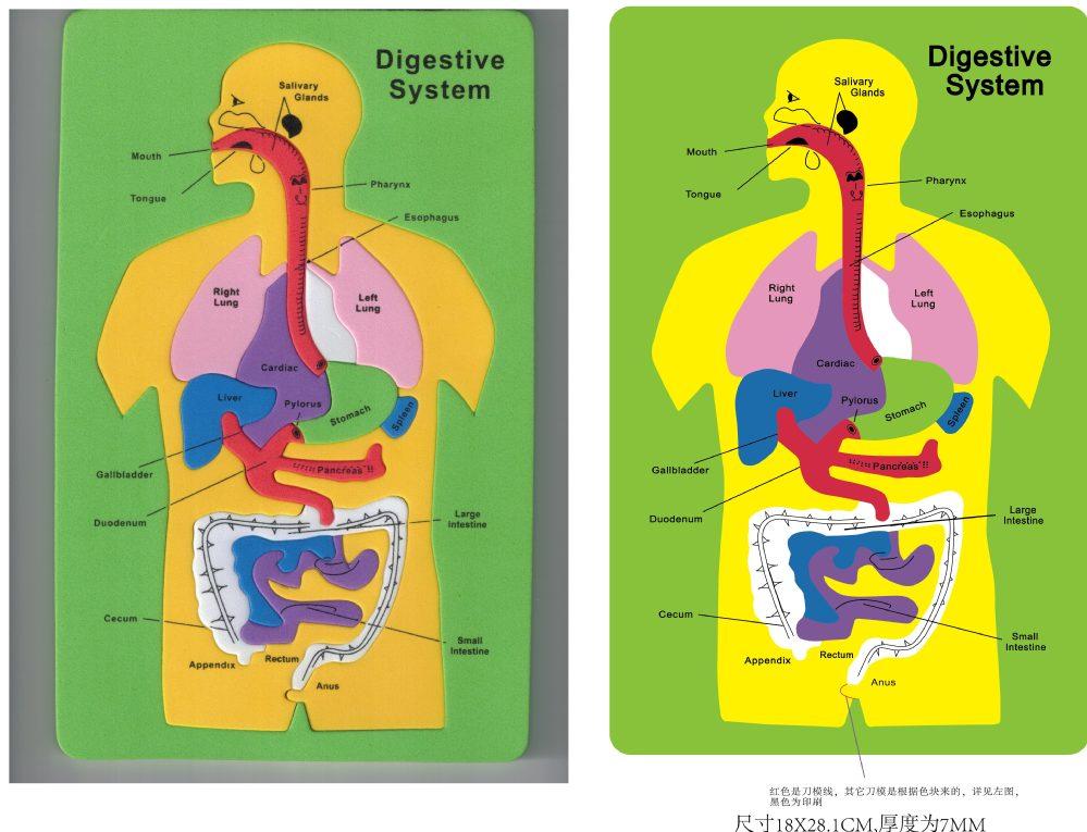 Los Niños Del Sistema Digestivo De Espuma Eva Aprendizaje ...