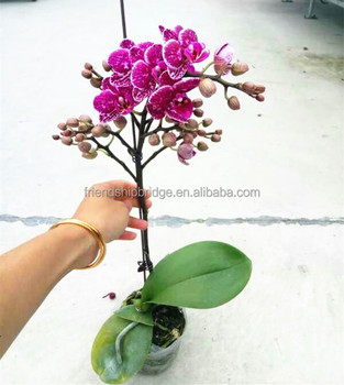 H20 35cm Mini Phalaenopsis Orchid Plant In 2 5 Inch Pot With Spike