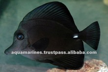 Aquarium Fish Tropical Fish Black Tang Pet Fish