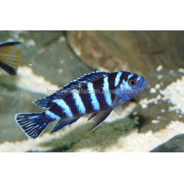 Nice Aquarium Cichlid Fish Demasoniciklide Buy Pseudotropheus Demasoni Lake Cichlid Fish Cichild From Lake Malawi Product On Alibaba Com