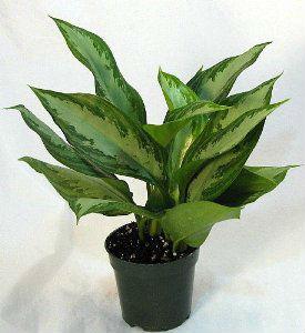 Indoor Plants Buy Indoor Ornamental Plants Product On Alibaba Com