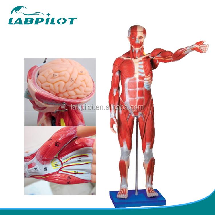 170cm Full Body Muscles Anatomy Modelmuscles Of Male Model Buy