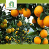 Brand new fresh valencia and navel oranges with great price