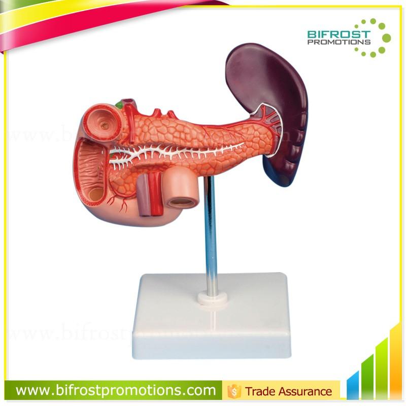 Pancreas Spleen Duodenum Teaching Organs Human Body Anatomy Model