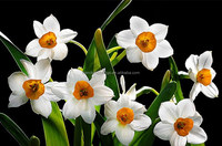 Narcissus flower bulbs