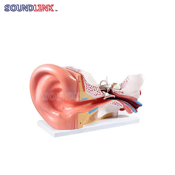 Wholesale Middle Size Plastic Human Ear Anatomy Model For Hearing